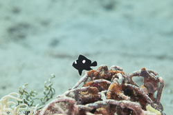 BD-121127-Aqaba-7231-Dascyllus-trimaculatus-(Rüppell.-1829)-[Threespot-dascyllus.-Treprickig-frökenfisk].jpg